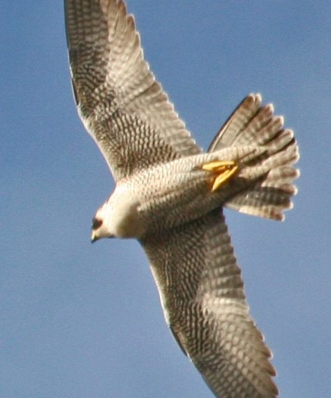 Peregrine falcon soaring jpg
