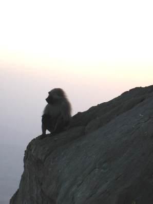 Taifs baboon1